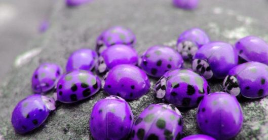 purple-ladybugs-865x452
